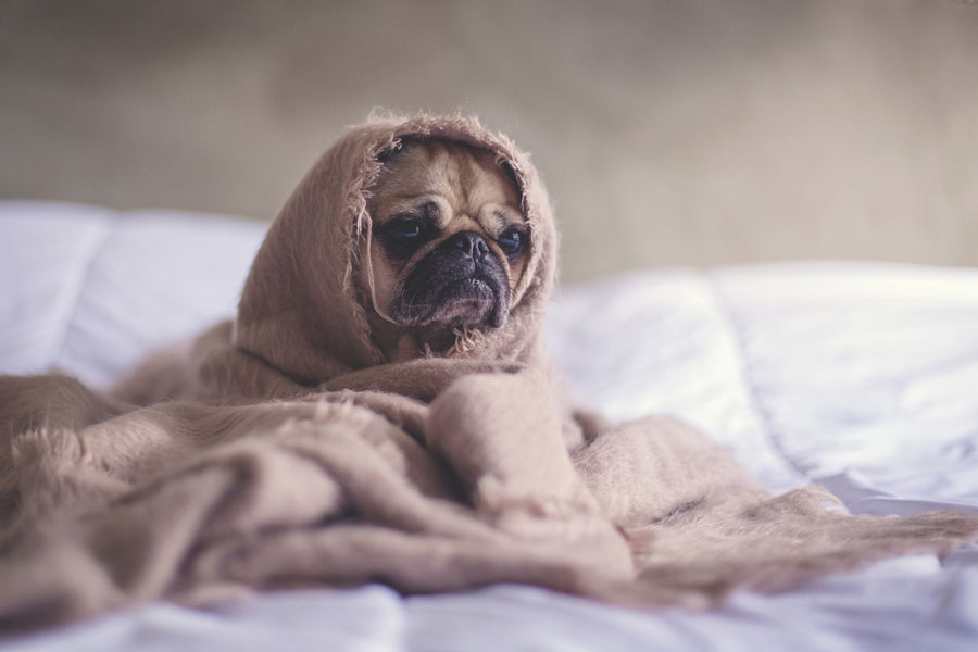Banish Winter Burnout Pug Dog