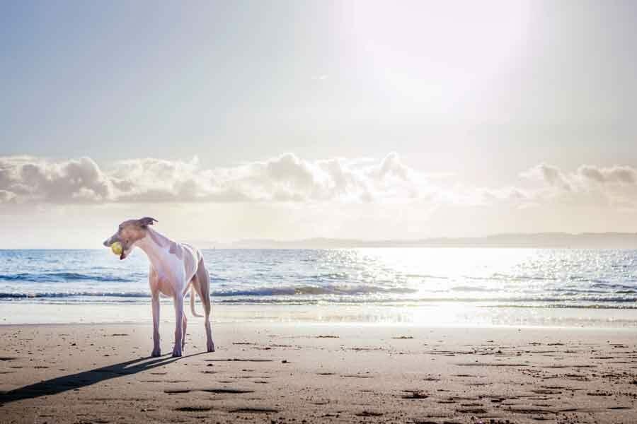 Dog walks Sydney